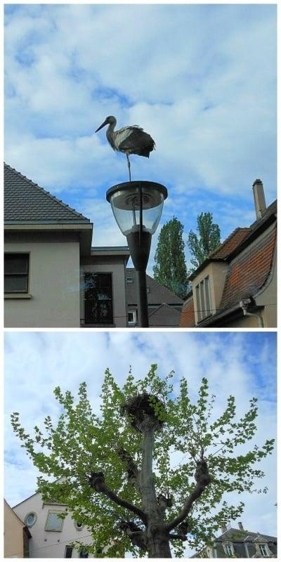 Storks near Parc de L'Orangerie in Strasbourg