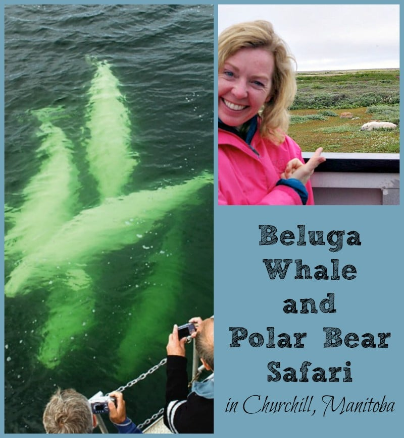 Spotting beluga whales and polar bears in Churchill, Manitoba
