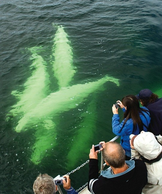 Your chances of spotting beluga whales in July and August is extremely high in Churchill, Manitoba