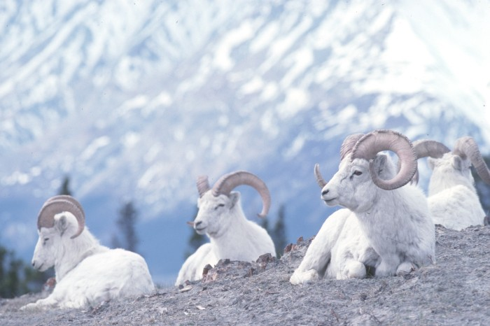 Dall sheep are abundant in Kluane National Park ~ Northern Lights and Beyond in Canada's Yukon with Kids