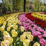 Tiptoe through the Tulips at Keukenhof Gardens