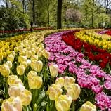 Tiptoe through the Tulips at Keukenhof Gardens
