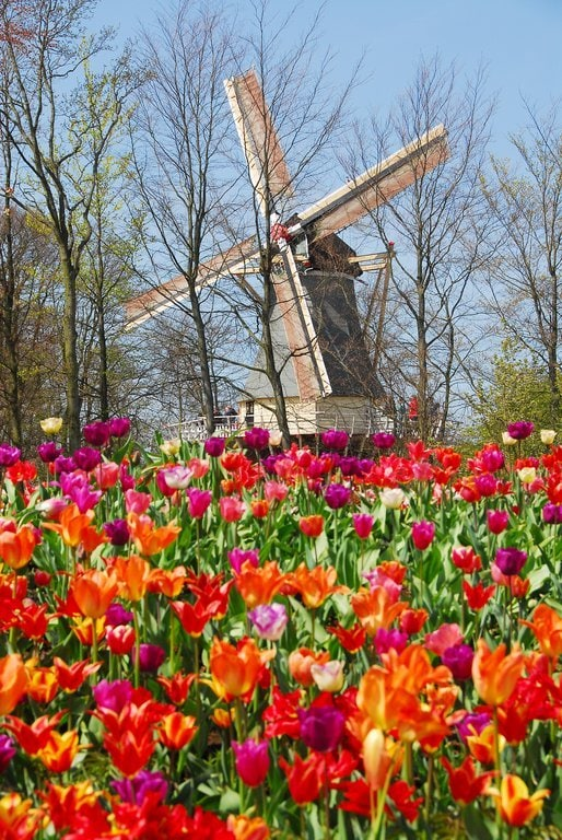 A windmill surrounded by tulips at Keukenhof Gardens in Holland, The Netherlands