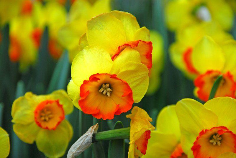 Daffodils at Keukenhof Gardens