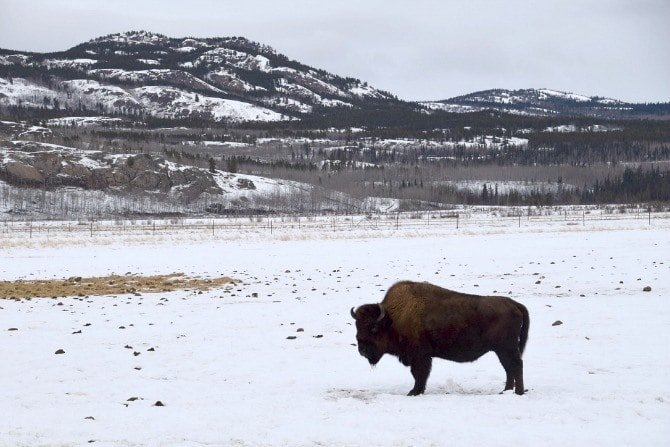 The Yukon Wildlife Preserve is a haven for northern animals like the mighty wood bison, the largest mammal in North America ~ Northern Lights and Beyond in Canada's Yukon with Kids
