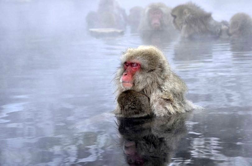 Japanese macaques staying warm in the Jigukudani Snow Monkey hot springs near Shibu Onsen ~ 10 Incredible Hot Springs for Families