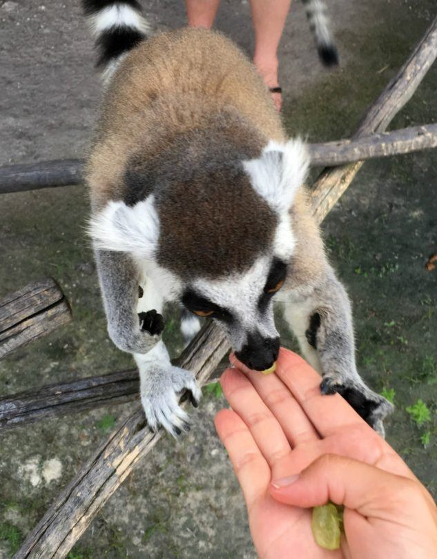 Lemur Feeding at Safari Wilderness Ranch in Central Florida