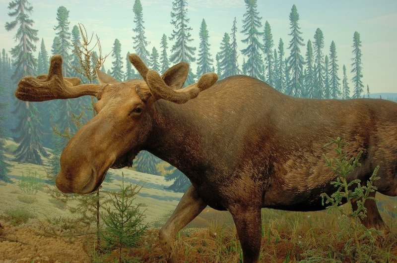 A moose on display at the Royal Saskatchewan Museum ~ Not to Miss Experiences in Saskatchewan with Kids