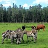 Animals are free to roam where they please at the Safari Wilderness Ranch in Central Florida