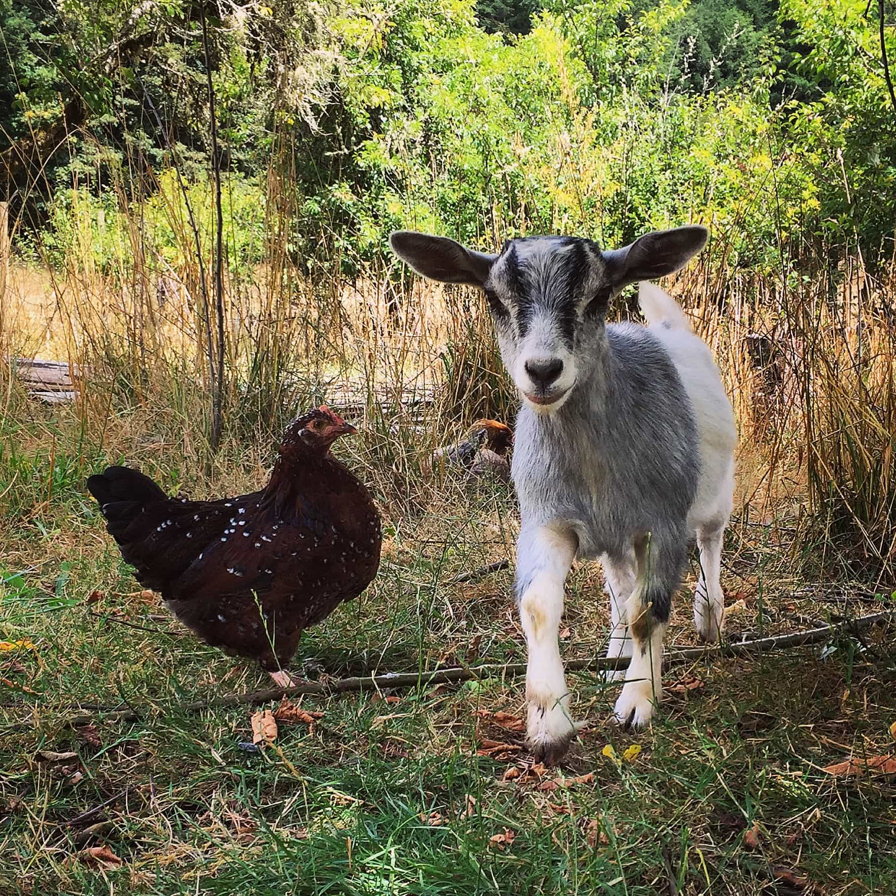 A hen and Pearl, a baby feinting goat
