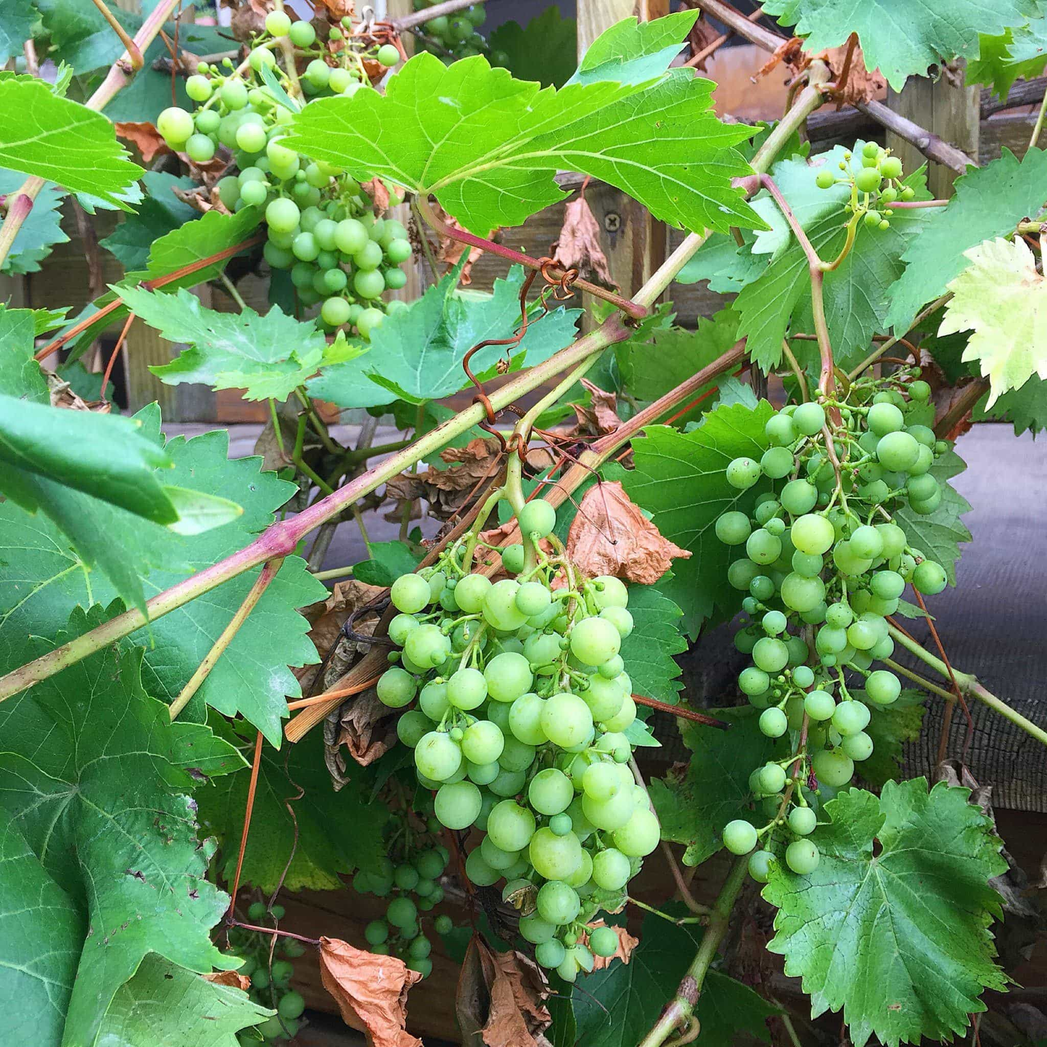 Green grapes on the vine at Leaping Lamb Farm