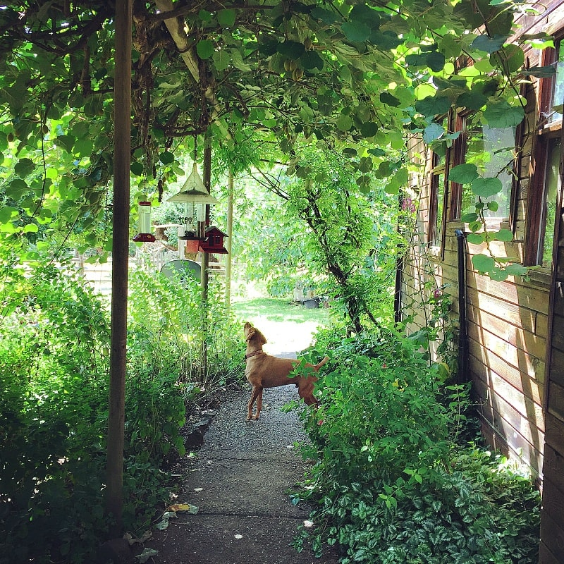 Silly Gillie the dog searching for chipmunks at Leaping Lamb Farm