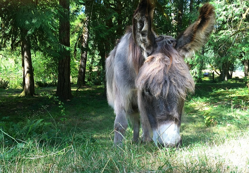 Paco the donkey was my daughter's second favorite Leaping Lamb Farm resident, after Scottie