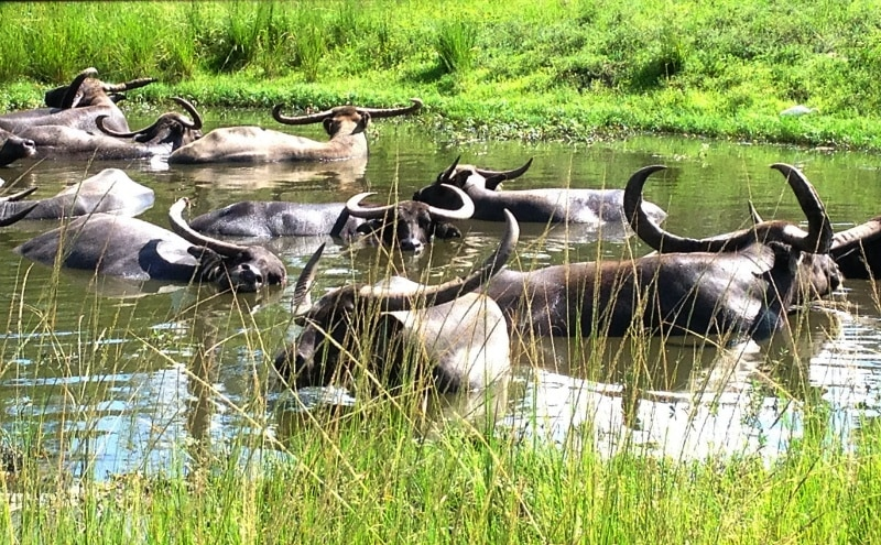 Asiatic Water Buffalo at Lion Country Safari ~ Fun Things to Do with Kids in Florida's Palm Beach County