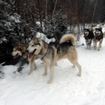 Dog-Sledding Is Not for Wimps