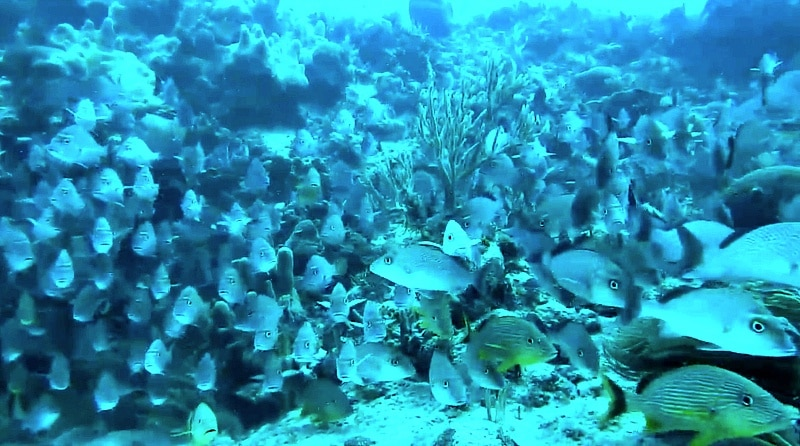 Exploring a coral reef in Playa del Carmen (Screenshot from Voyager with Josh Garcia)