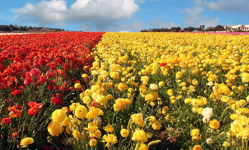 Carlsbad Flower Fields ~ 15 Best San Diego Attractions for Kids