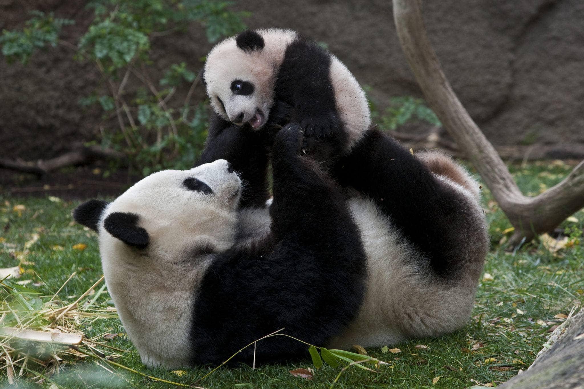 Pandas at the San Diego Zoo ~ 15 Best San Diego Attractions for Kids