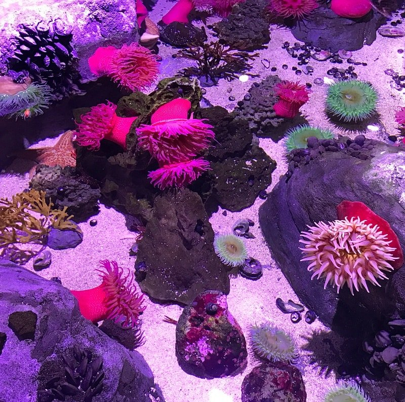 Pet anemones, sea stars and sea cucumbers at the Pacific Northwest Rockpool at Sea Life Aquarium Minnesota ~ 30 Fun Things to Do at Mall of America Besides Shop