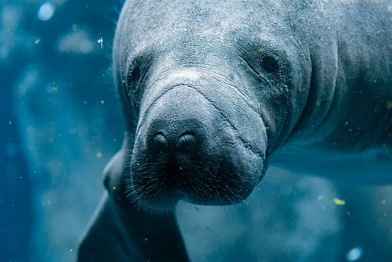 It'd be hard not to fall in love with manatees after swimming with them ~ Swimming with manatees