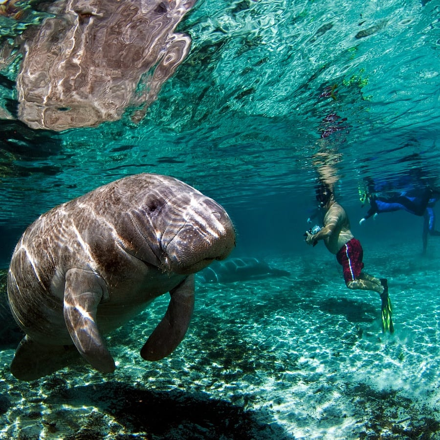 Swimming With Manatees Florida S Gentle Giants
