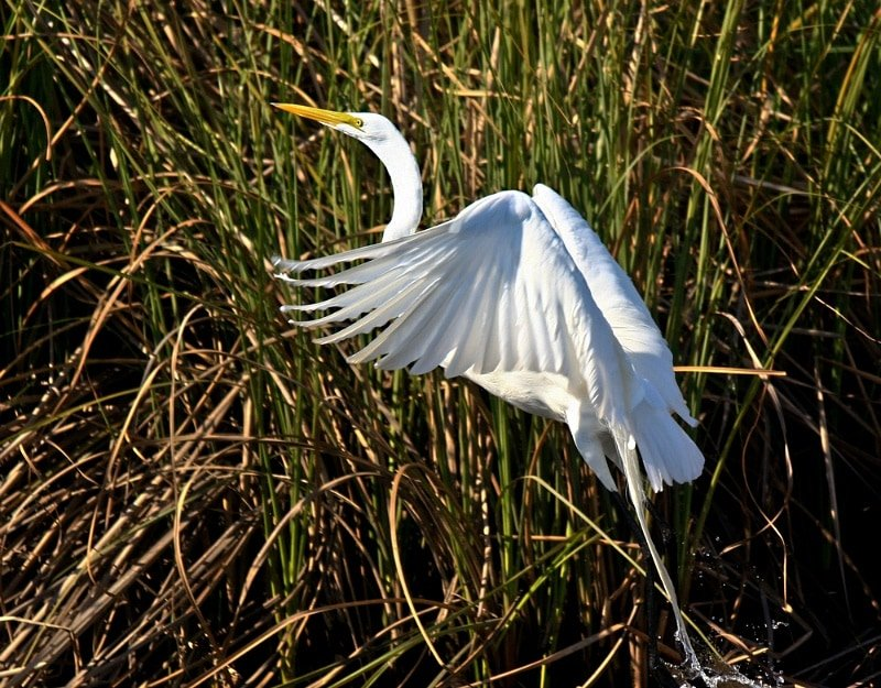 A great egret taking flight at Crystal River, Florida