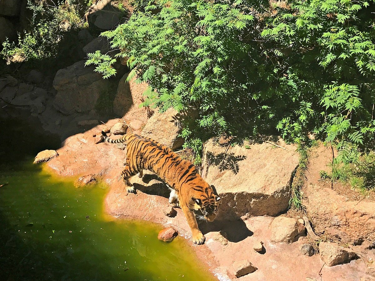 This tiger took a dip to cool off during our visit to Cheyenne Mountain Zoo ~ 9 Amazing Adventures in Canon City and Colorado City