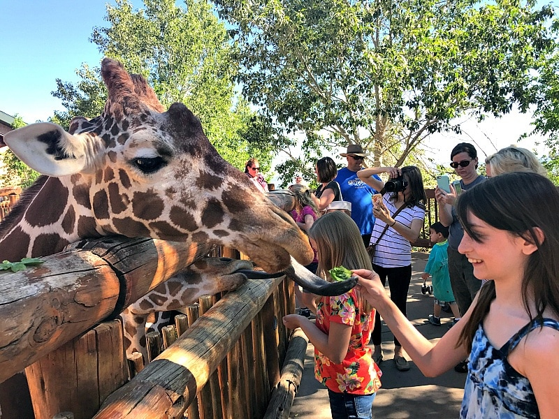 Feeding giraffes at Cheyenne Mountain Zoo ~ 9 Amazing Adventures in Canon City and Colorado Springs for Families