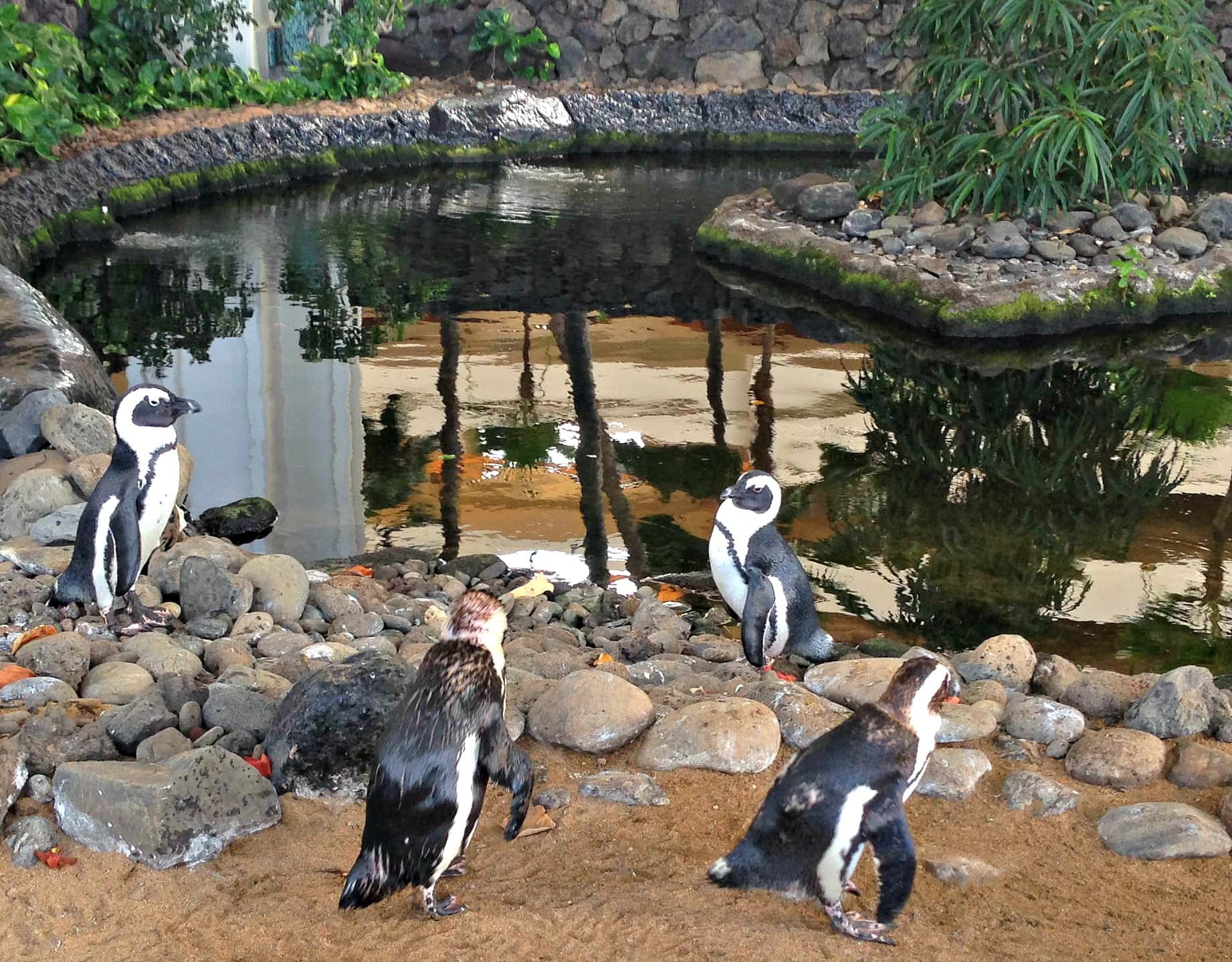 Warm weather penguins on parade at Hyatt Regency Maui with kids