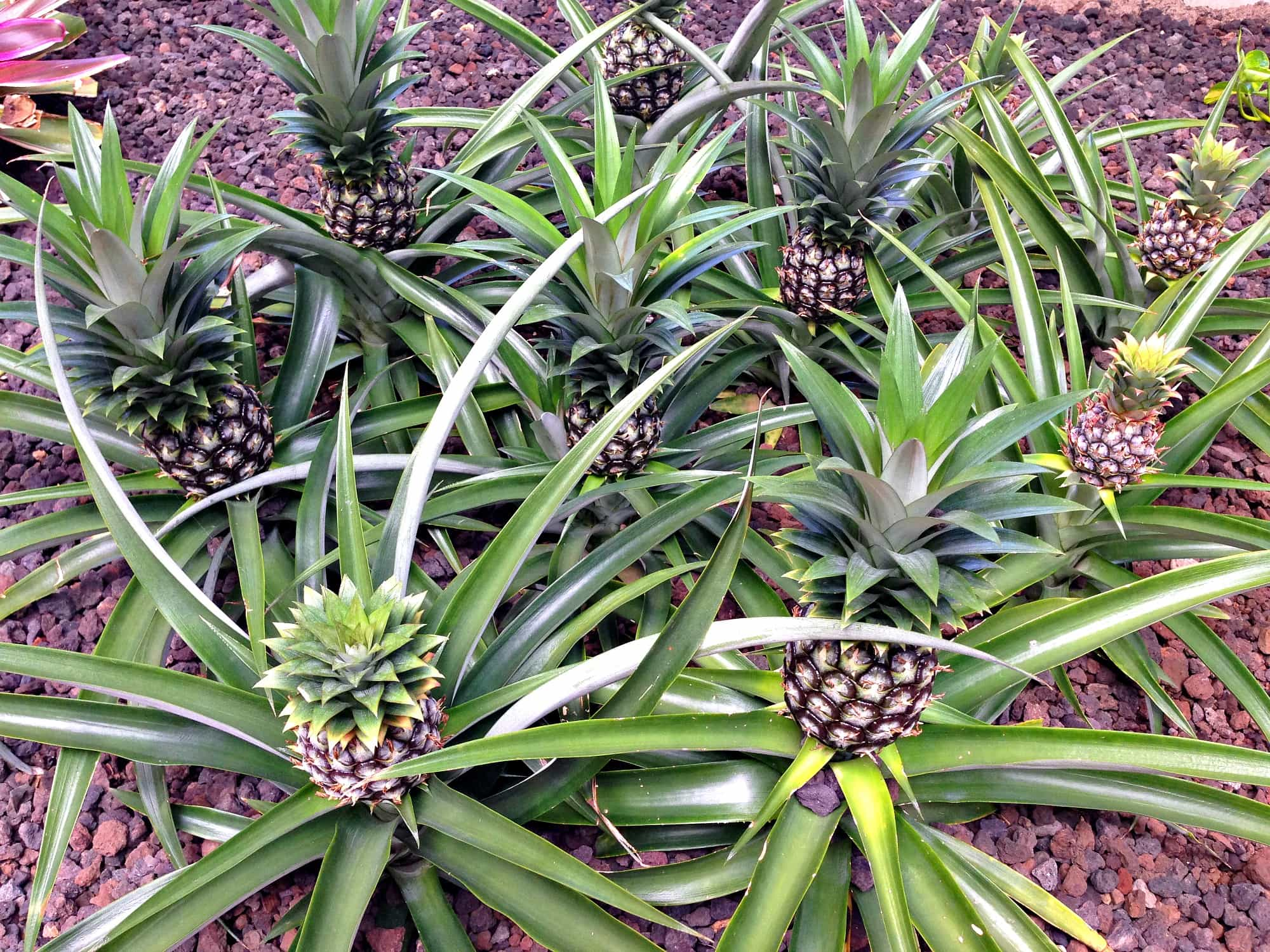 Hyatt Regency Maui Resort and Spa pineapples