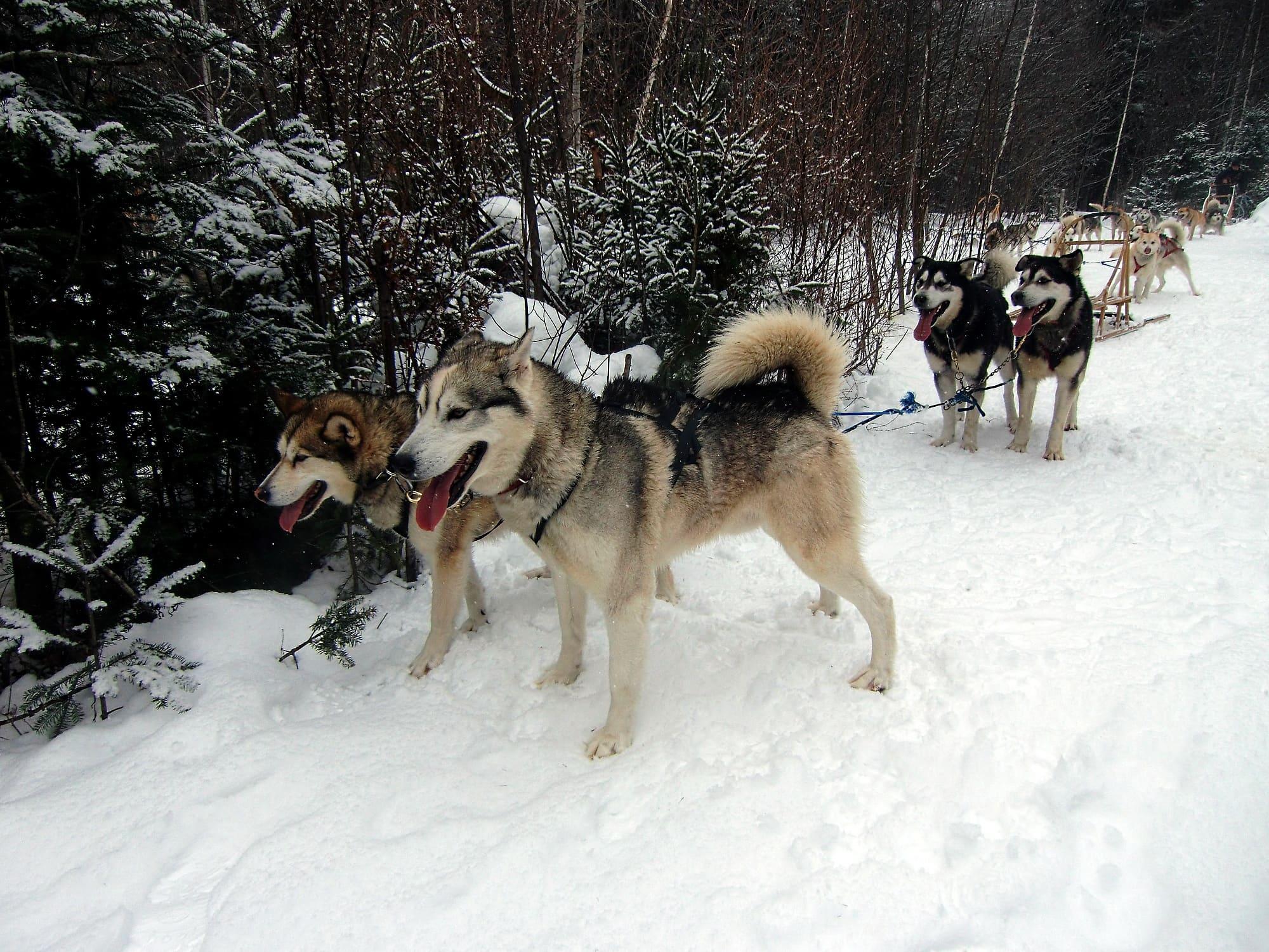 My dog-sledding team in Outaouais, Quebec ~ Is dog-sledding on your bucket list?