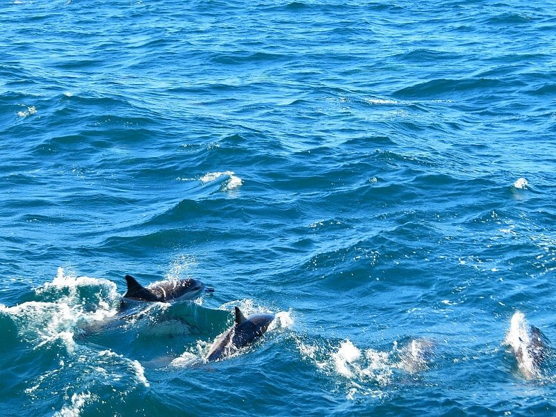 Dolphins on the way to Channel Islands ~ Unique things to do in Ventura County, California with kids
