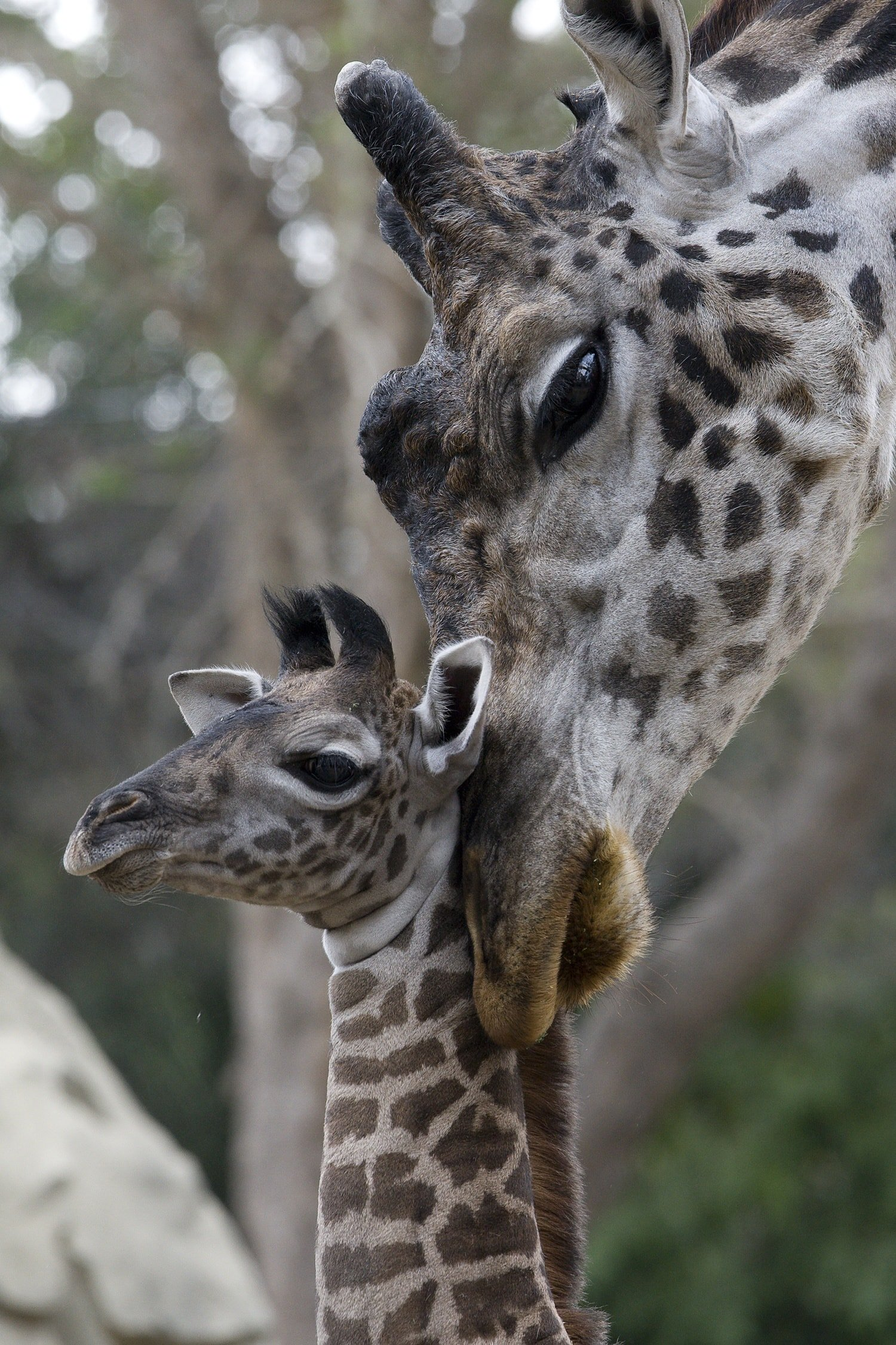 A baby and mama giraffe cuddling at San Diego Zoo with kids