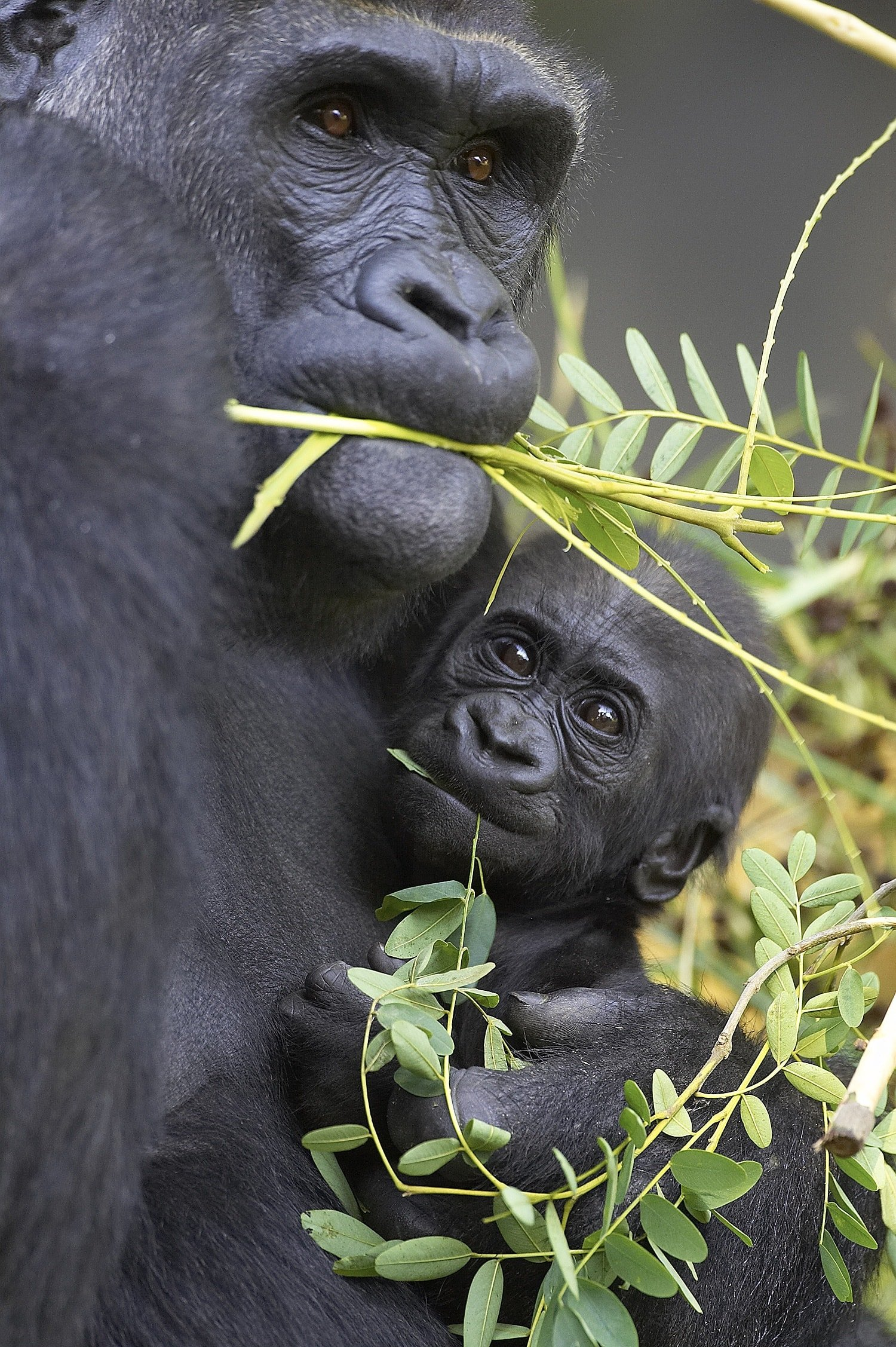 A mama gorilla and her baby at San Diego Zoo with kids