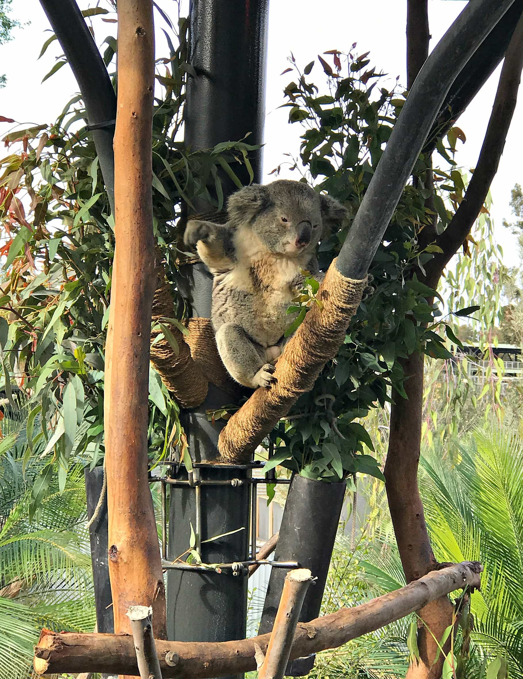 This koala at San Diego Zoo looks like he's waving hello, doesn't he?