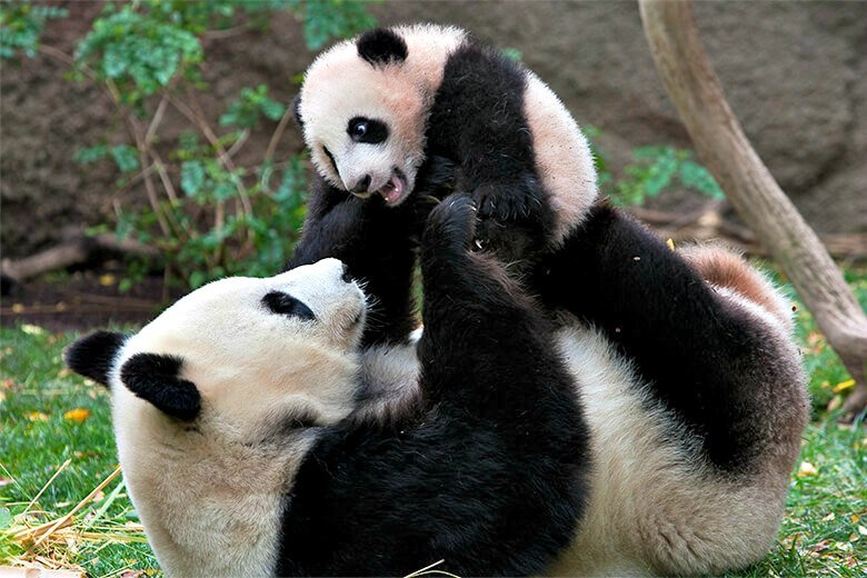 The giant pandas are among the most popular residents of the San Diego Zoo ~ San Diego Zoo with Kids