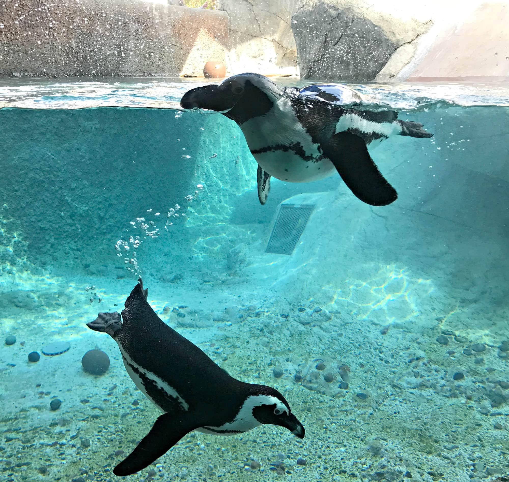 Penguins playing at the San Diego Zoo