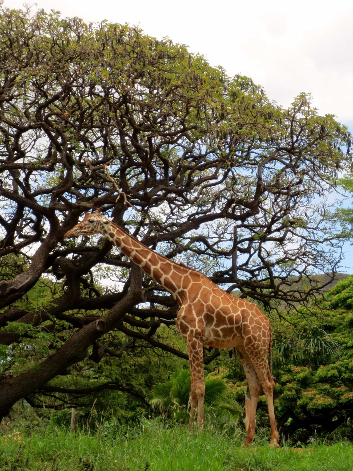 Giraffe at the Honolulu Zoo on Oahu with kids