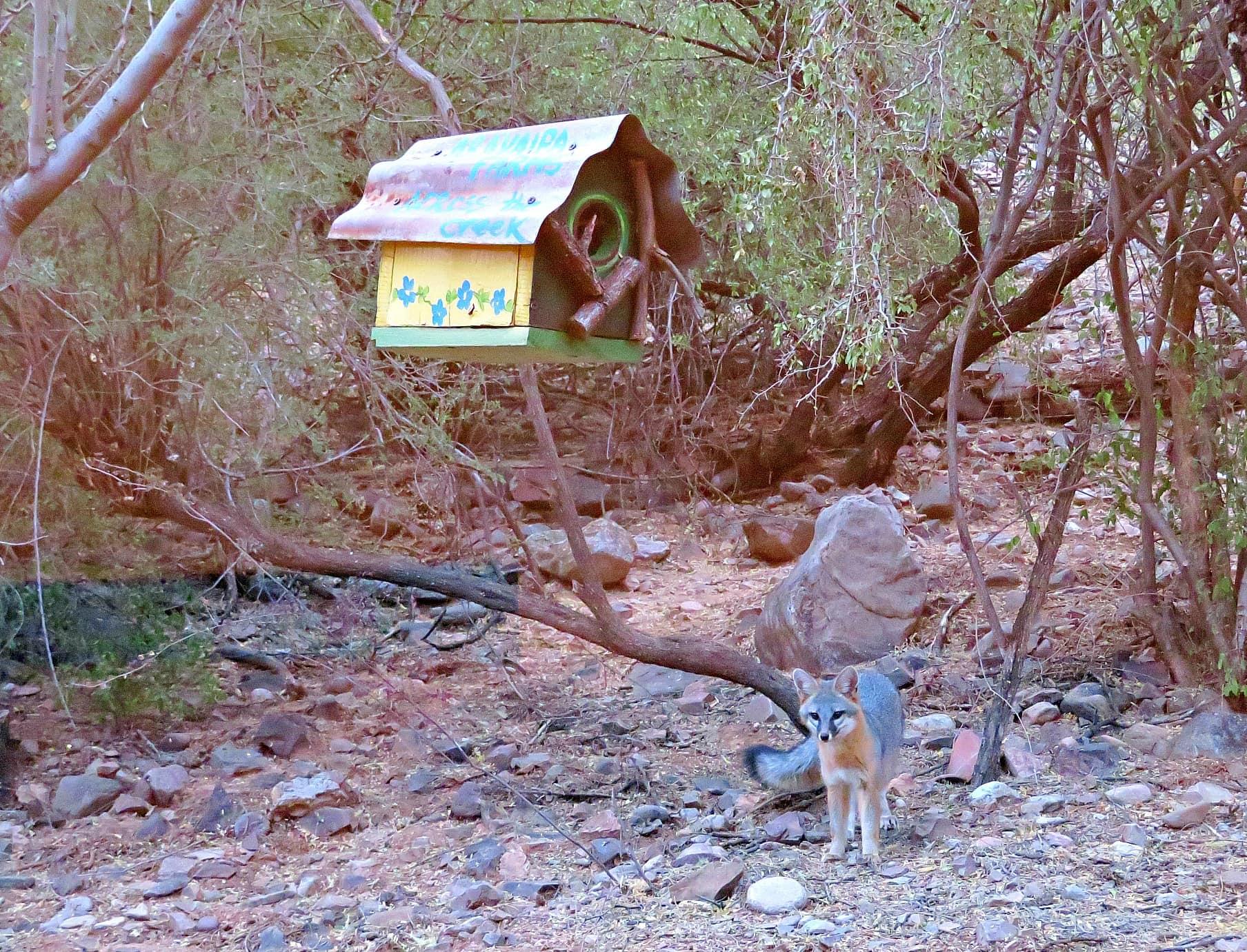 A fox just outside our casita at Aravaipa Farms Inn