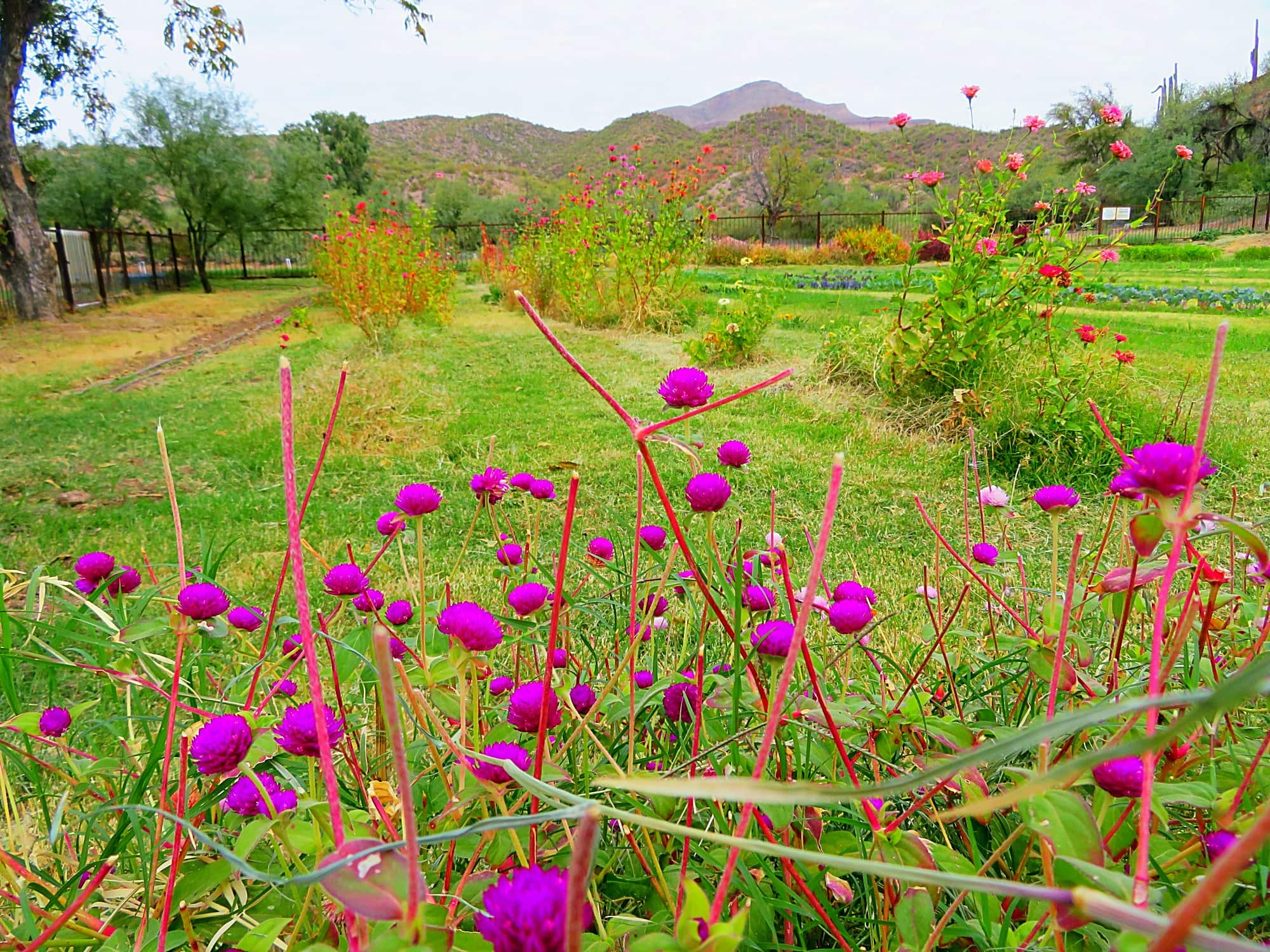 Purple flowers at Aravaipa Farms Inn