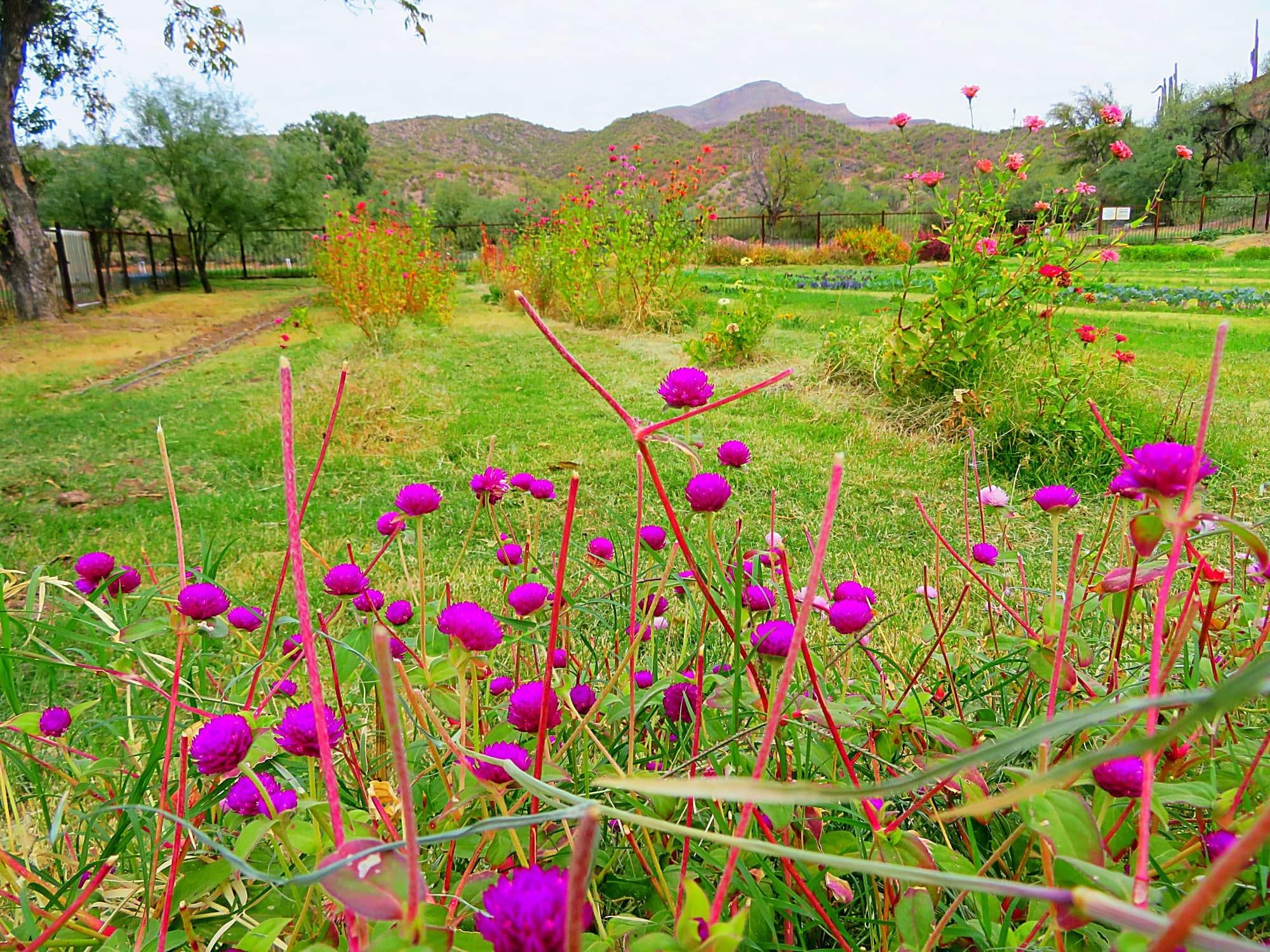 Purple flowers at Aravaipa Farms Inn