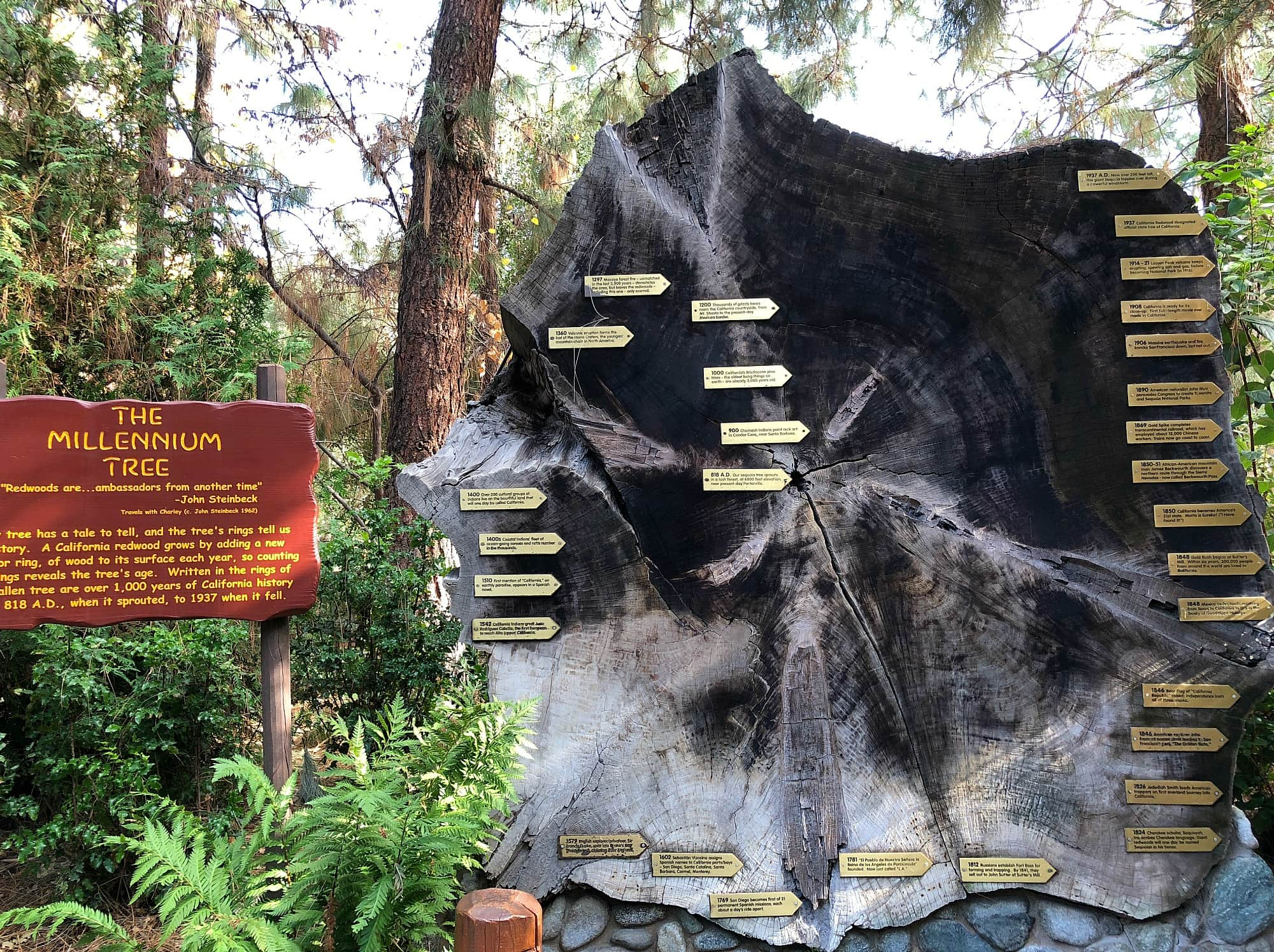 This real tree in the Redwood Challenge Trail teaches natural history ~ Educational Things to Do at Disneyland with Kids