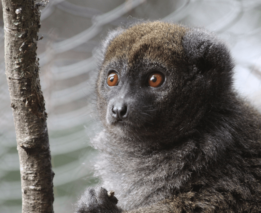Fray bamboo lemur at Montpellier Zoo
