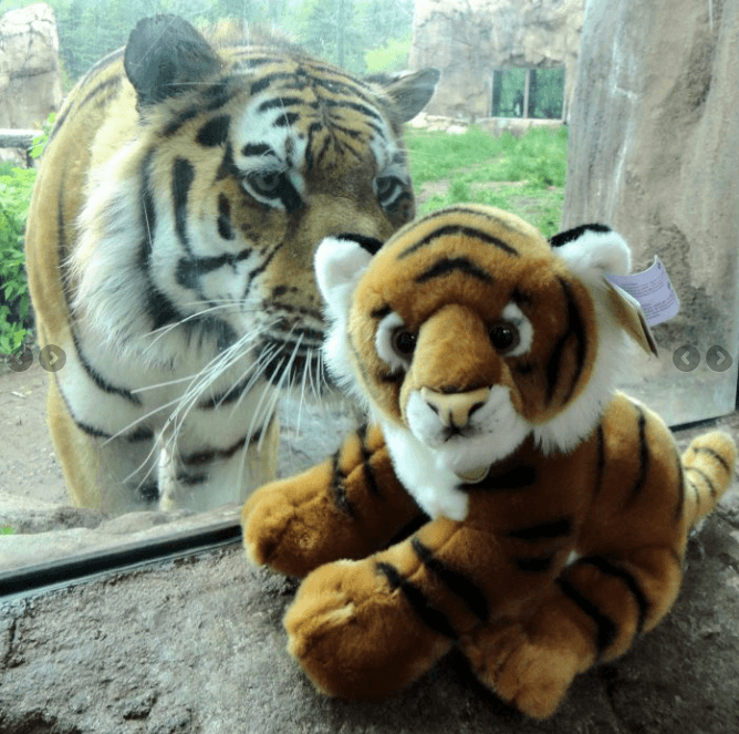 A tiger at the Lake Superior Zoo checks out a stuffed toy through the exhibit's glass