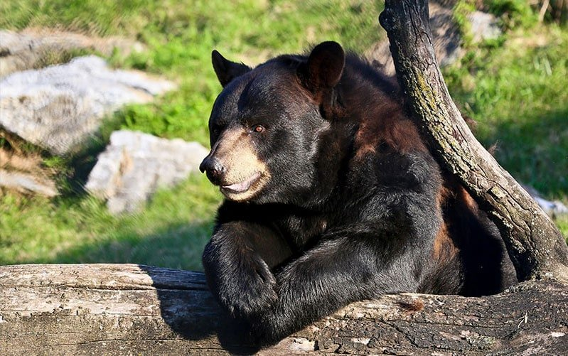 View animals like this black bear at ZooAmerica in Hershey, Pennsylvania with kids