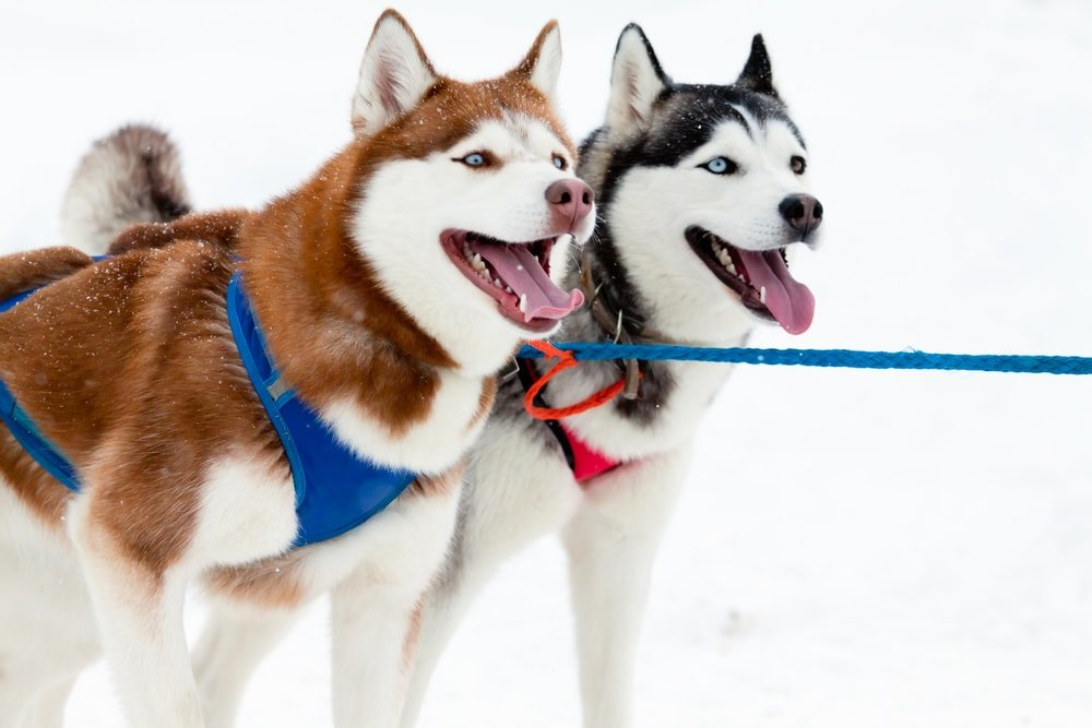 Dog-sledding in Juneau, Alaska is something your family will always remember!