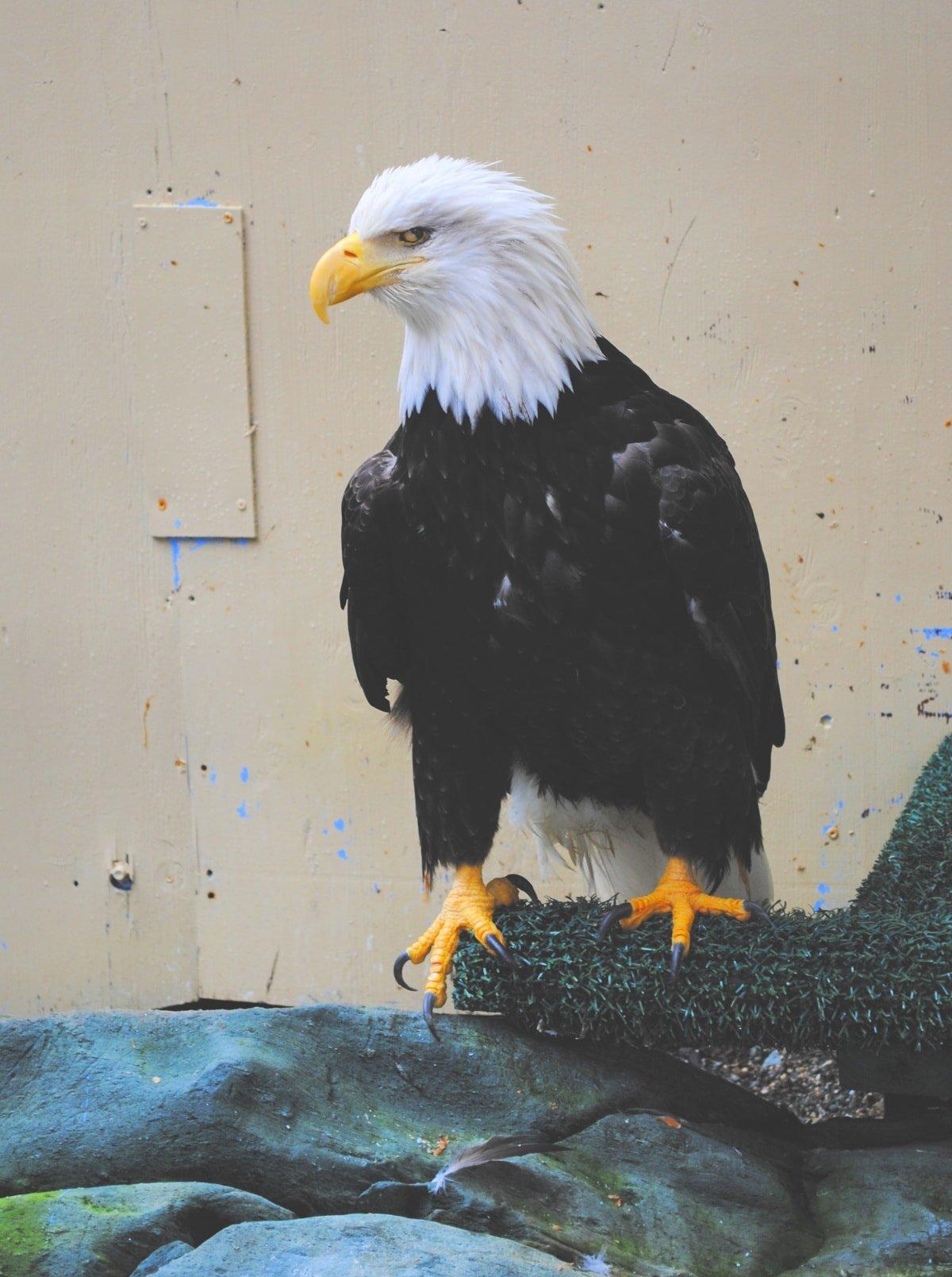 A rescued bald eagle at Juneau Raptor Center in Juneau, Alaska with kids