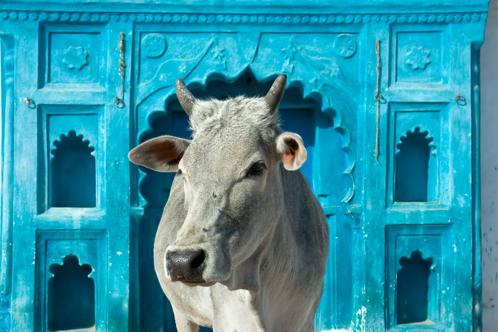 A holy cow in Madhya Pradesh, India