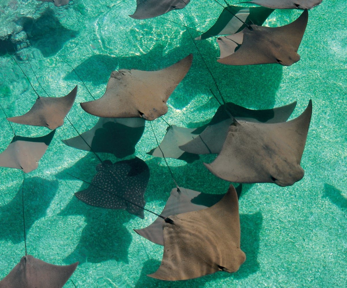 View sea animals like rays in the world's largest open air marine habitat at Atlantis Bahamas with kids (Photo credit: Atlantis)