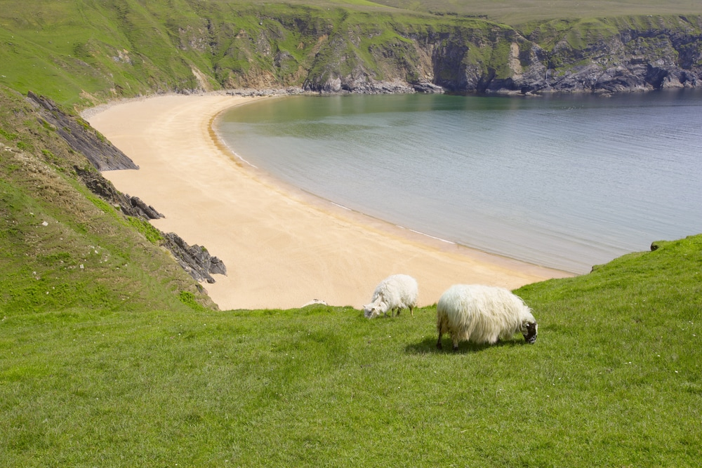 Sheep near the coast in County Donegal, Ireland